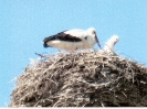 The Stork: National Bird of Ukraine